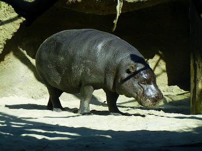 Hip hippopotamus