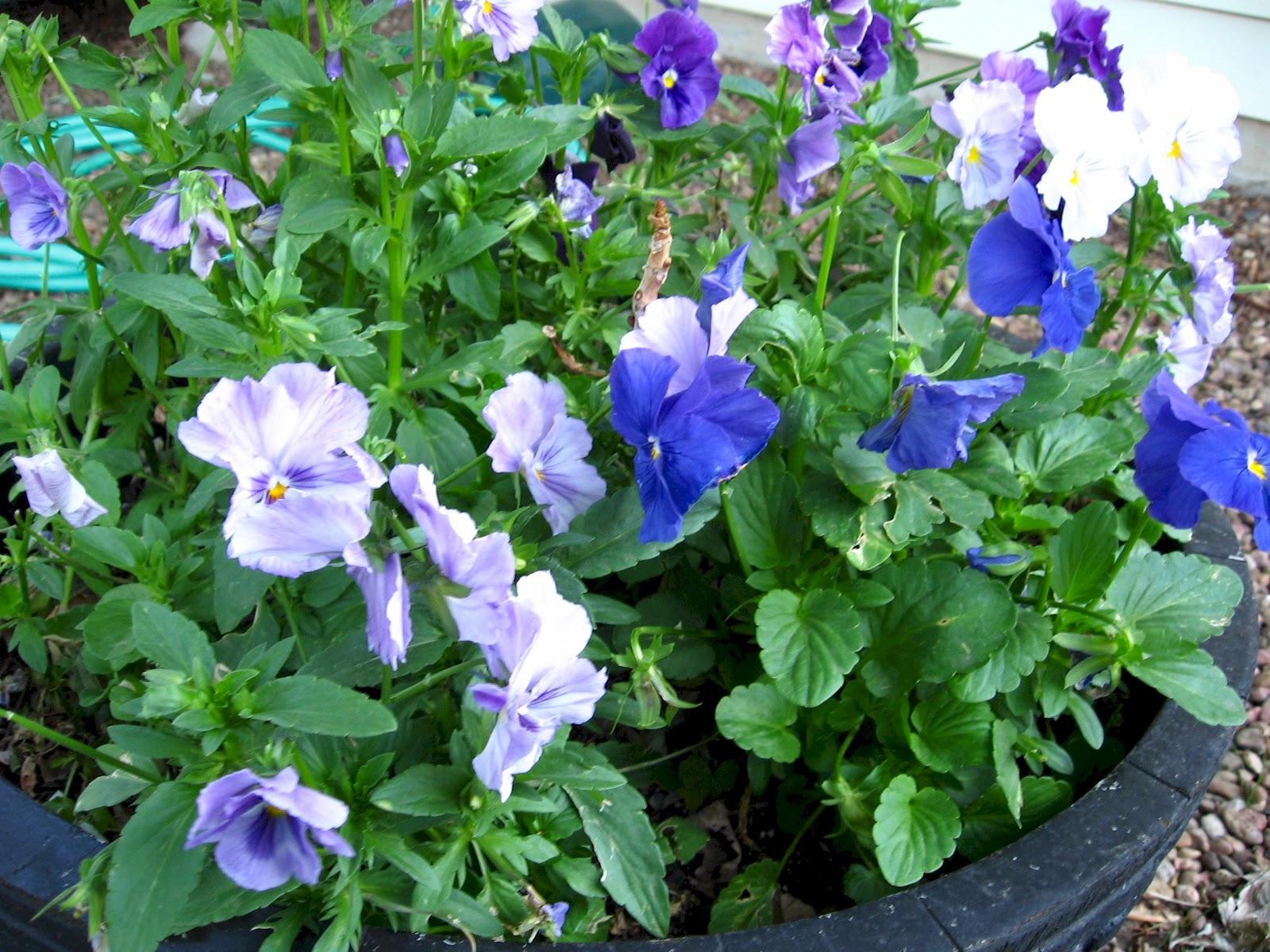 Kansas Gardener Favorite Flowers Pansies
