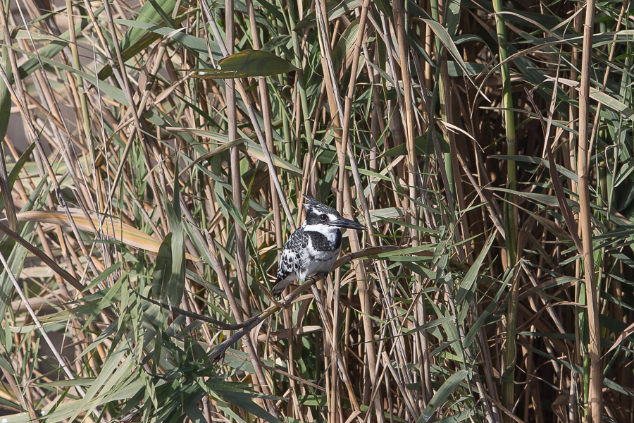 Pied Kingfisher - male