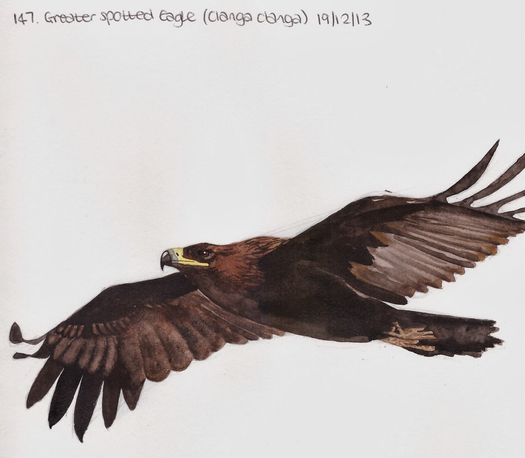 Learn.Draw.BIRD.: 147. Greater Spotted Eagle (Clanga clanga)