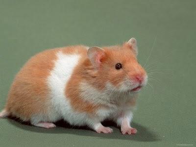 Hamster Syrian Adalah Jenis Hamster Yang Paing Besar