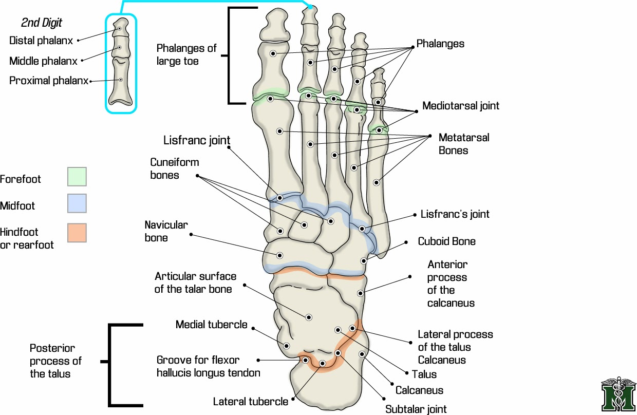Foot Anatomy Ligaments Picture Reference And