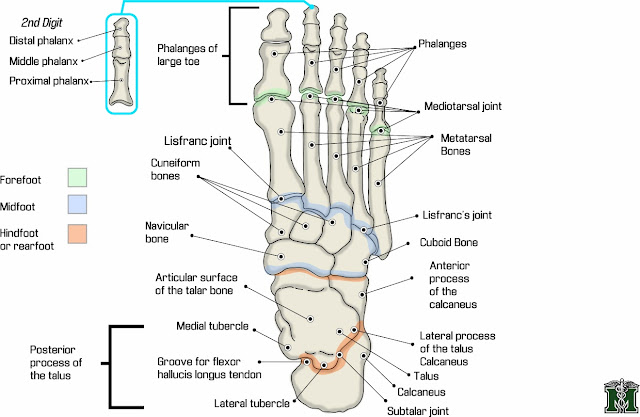 Foot ligaments anatomy