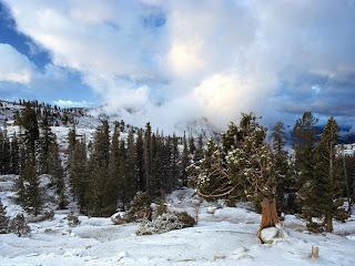 early snow tree huddle sierra (14)