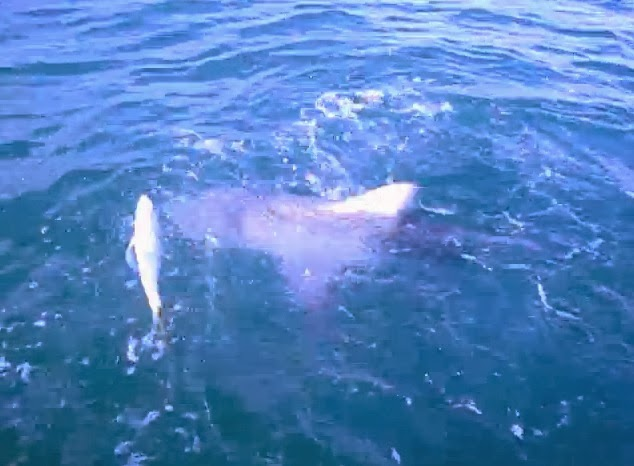 Shark attack news video bull shark and grouper pursue caught fish