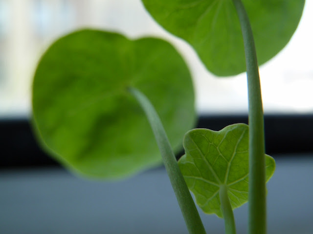 Nasturtium's peltate leaves on windowsill, Brooklyn