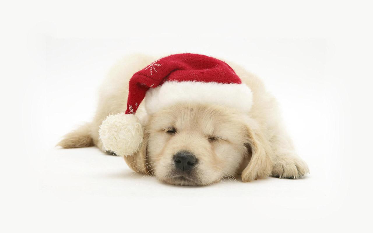 http://3.bp.blogspot.com/-AELCpv_m4lI/UMqhO75K65I/AAAAAAAABy8/ZaQqyGp2uEE/s1600/dogs-christmas-pets-HD-Wallpapers+04.jpg