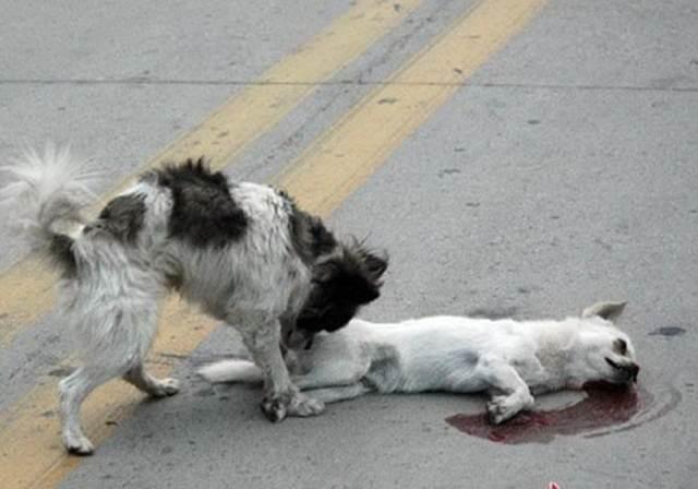 anjing berusaha membangunkan temannya