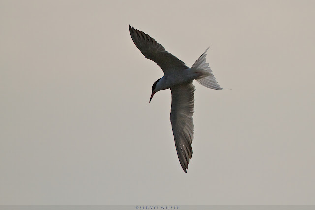 Visdief - Common Tern - Sterna hirundo