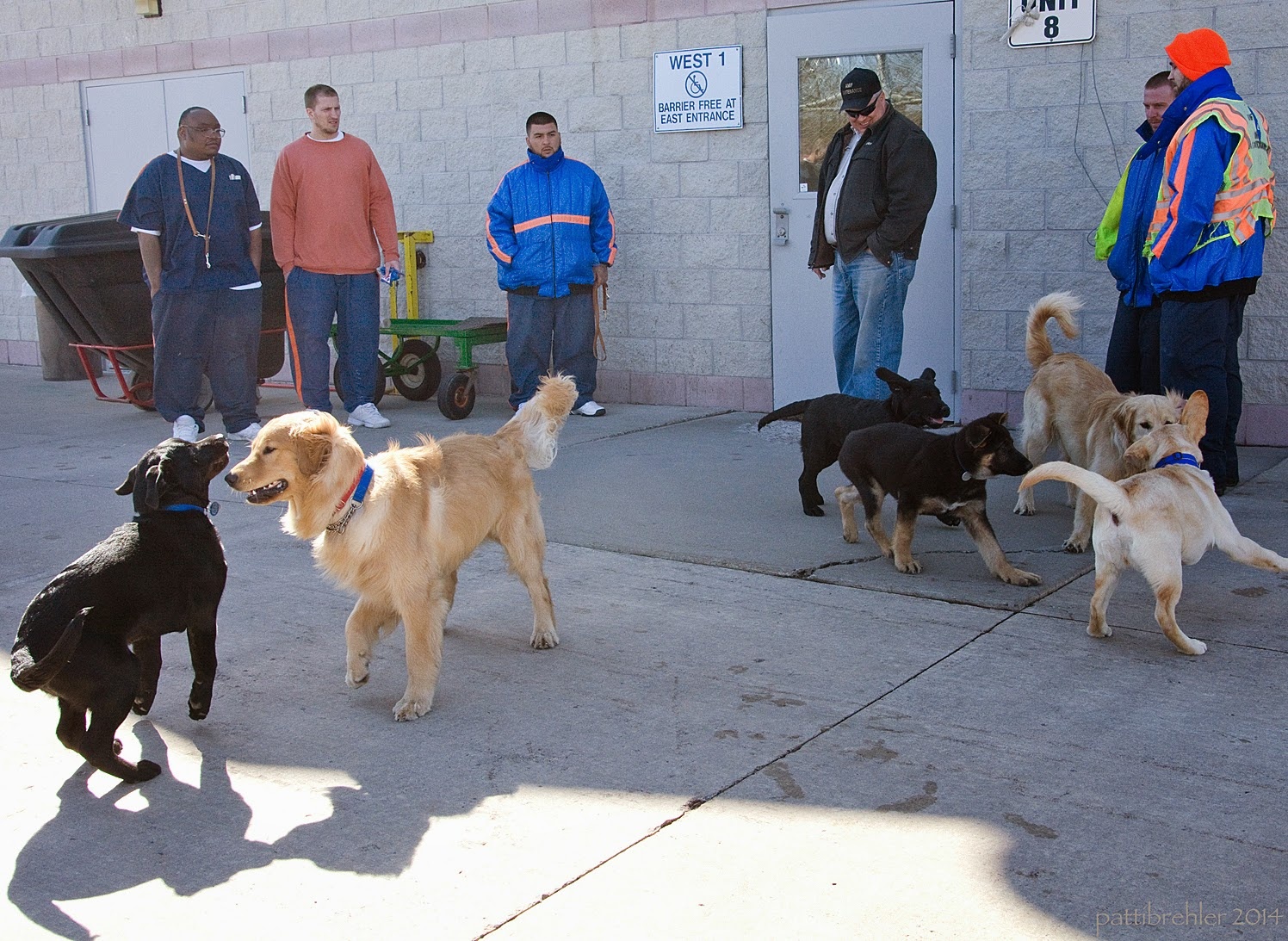 Six men are standing near a brick wallked builidng. In front of them on the cement are six puppies playing. A black lab and golden retriever are on the left side in front, another black lab, a german shepherd, another golden, and a yellow lab are grouped together on the right.