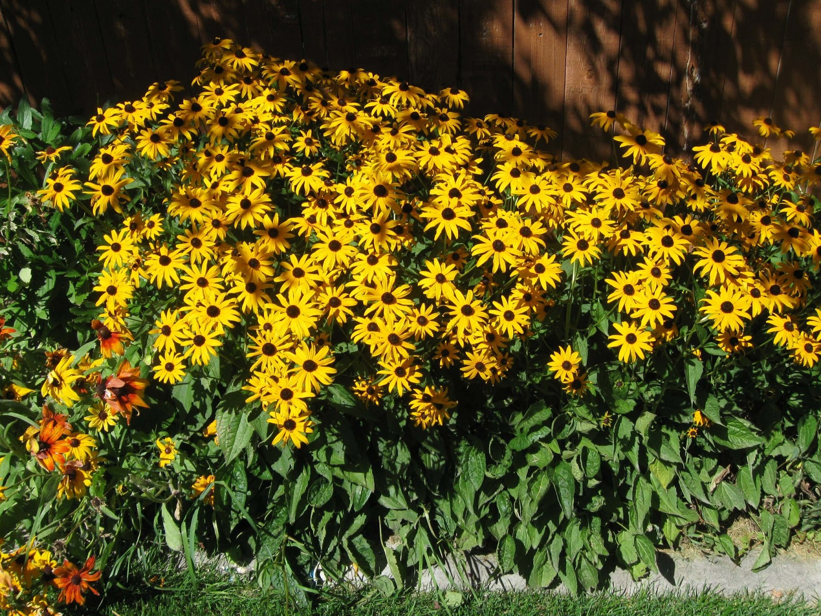 Black Eyed Susan Rudbeckia Hirta Shooting From The Hip
