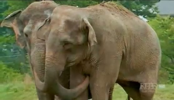 Two elephants reunited after 20 years at The Elephant Sanctuary in Tennessee