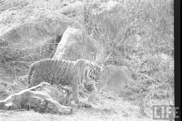 Tiger+Hunting+Photographs+of+India+-+1965+%252826%2529