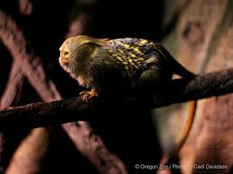 Pygmy Marmoset picture