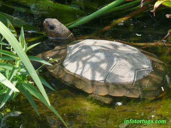 Asian giant tortoise - Manouria emys