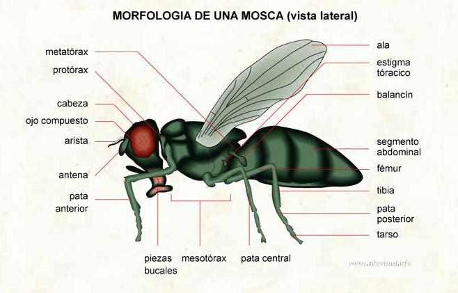 Las moscas y su adaptación al medio
