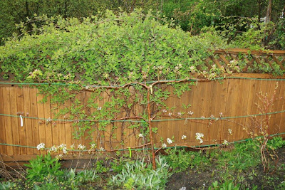 European pear espalier tree