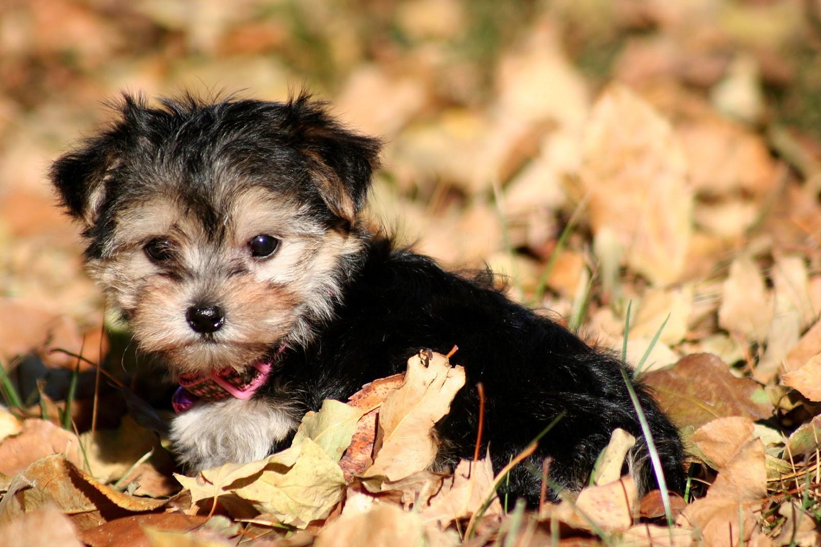 Yorkie Maltese Mix - Dog Training Home | Dog Types