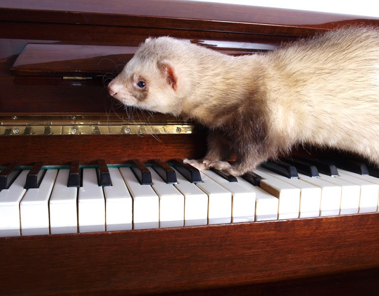 A domestic ferret walks across a piano keyboard