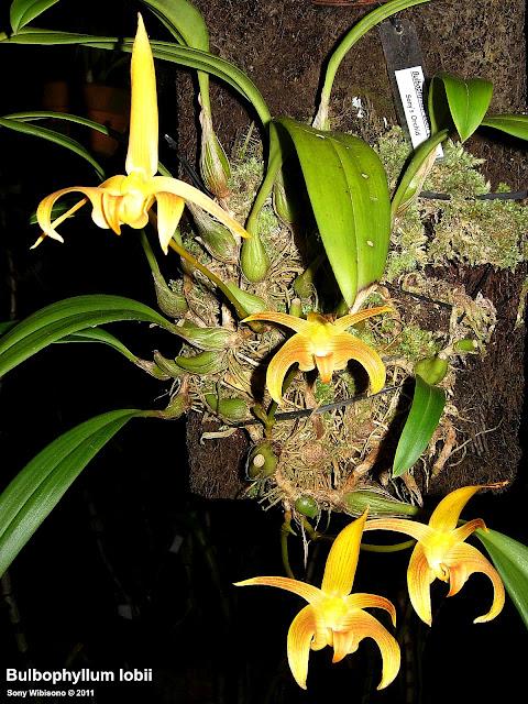 http://3.bp.blogspot.com/-AGnVWqNHnRw/TdTtyg9utwI/AAAAAAAAANg/MA5gnGCprIc/s1600/Bulbophyllum+Lobii+Java+04.jpg