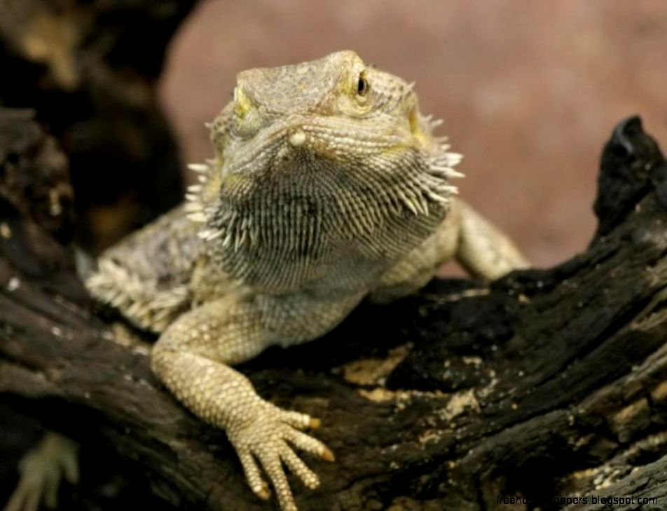 Bearded dragon wallpaper free hd wallpapers view original size voltagebd Choice Image