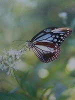 お買い求めのあった蝶