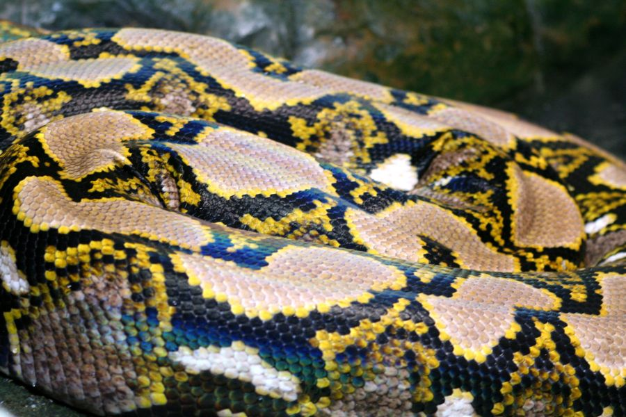 Reptiland, Allenwood PA : Reticulated Python :: All Pretty Things