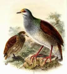 Buff fronted quail dove