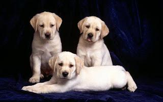 labrador retriever dog info puppy wallpaper animal pets