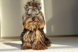Raza de perro pequeño