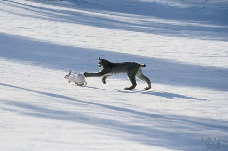 snowshoe hare and lynx predator prey relationship definition
