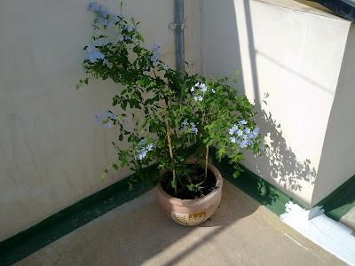 plumbago auriculata pruning trimming