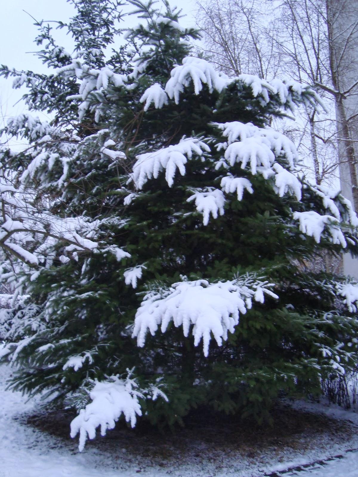 choinka pod śniegiem
