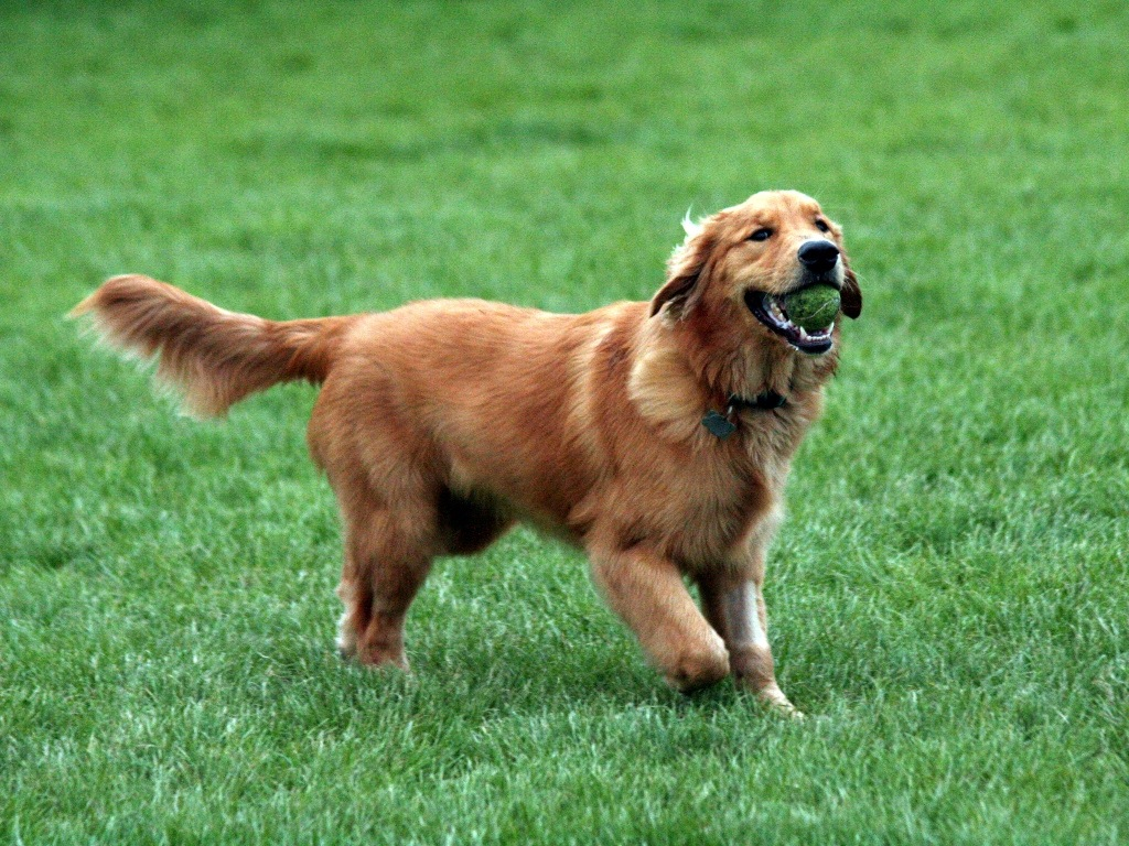 Golden Retriever Pictures and Information | Dog Breed ...