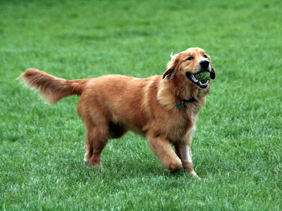 Golden Retriever Picture