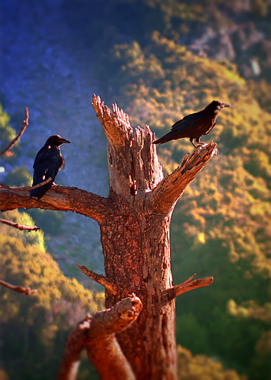 Ravens In the Morning
