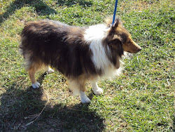 Sable and White Sheltie female