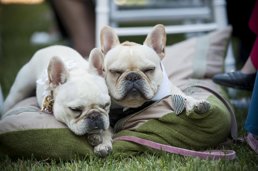 dog ring bearer, dog wedding tuxedo