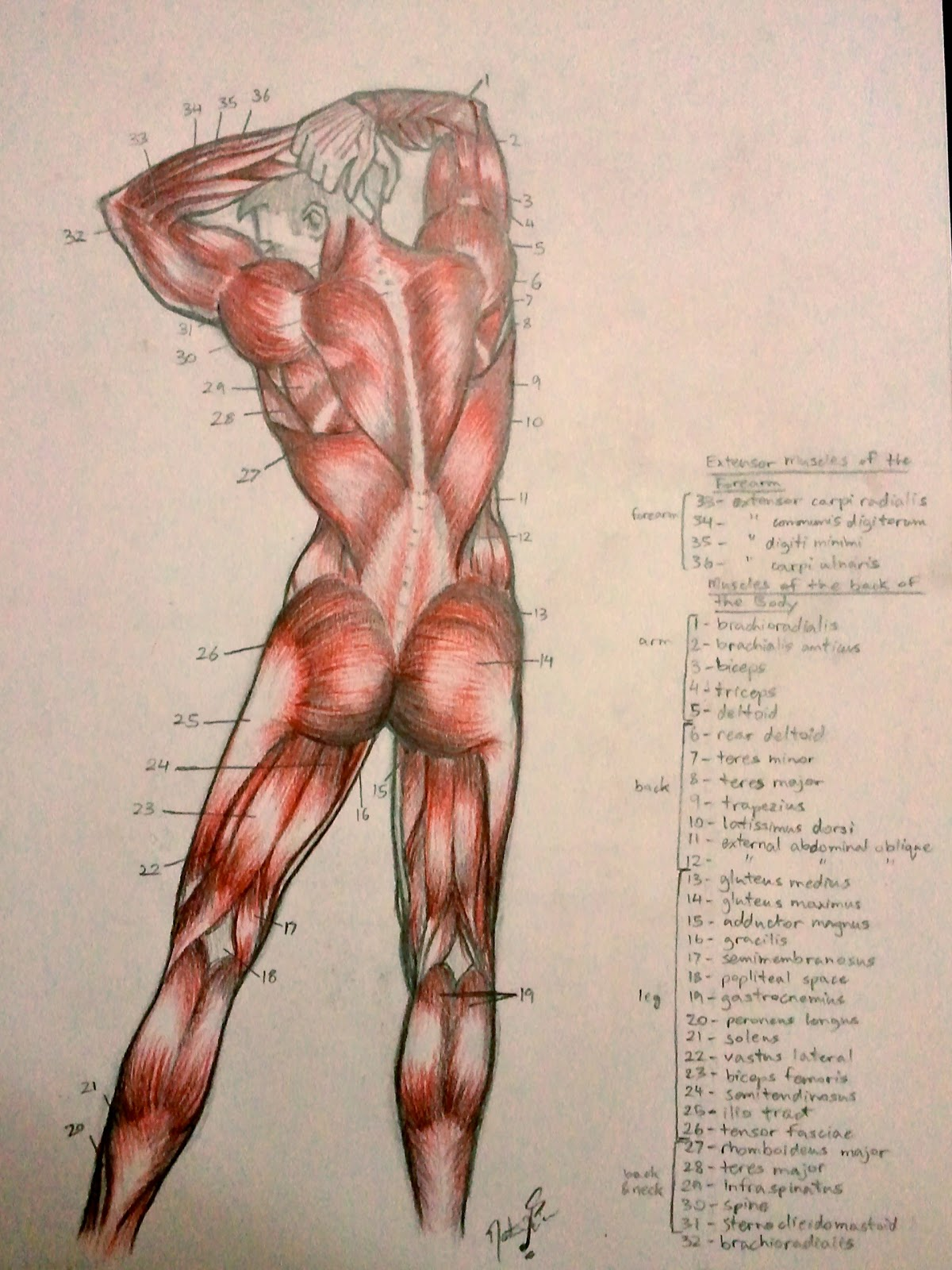 Anim8r X: Anatomy Studies (Muscles)