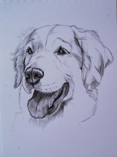 Mes dessins animaliers irish cob p43 - Dessin golden retriever ...