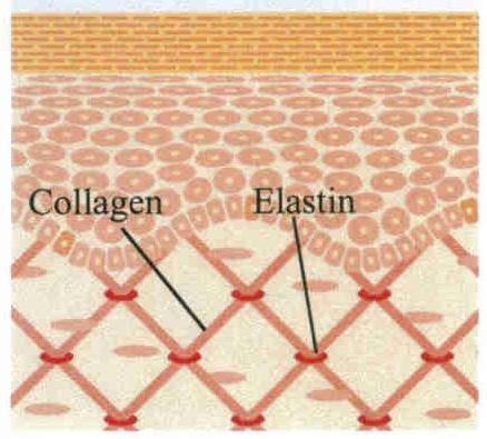 http://3.bp.blogspot.com/-AIh25QvXteQ/T6Vz3ZTzIwI/AAAAAAAAAFw/2IZnVlSY8YQ/s1600/collagen_elastin.jpg