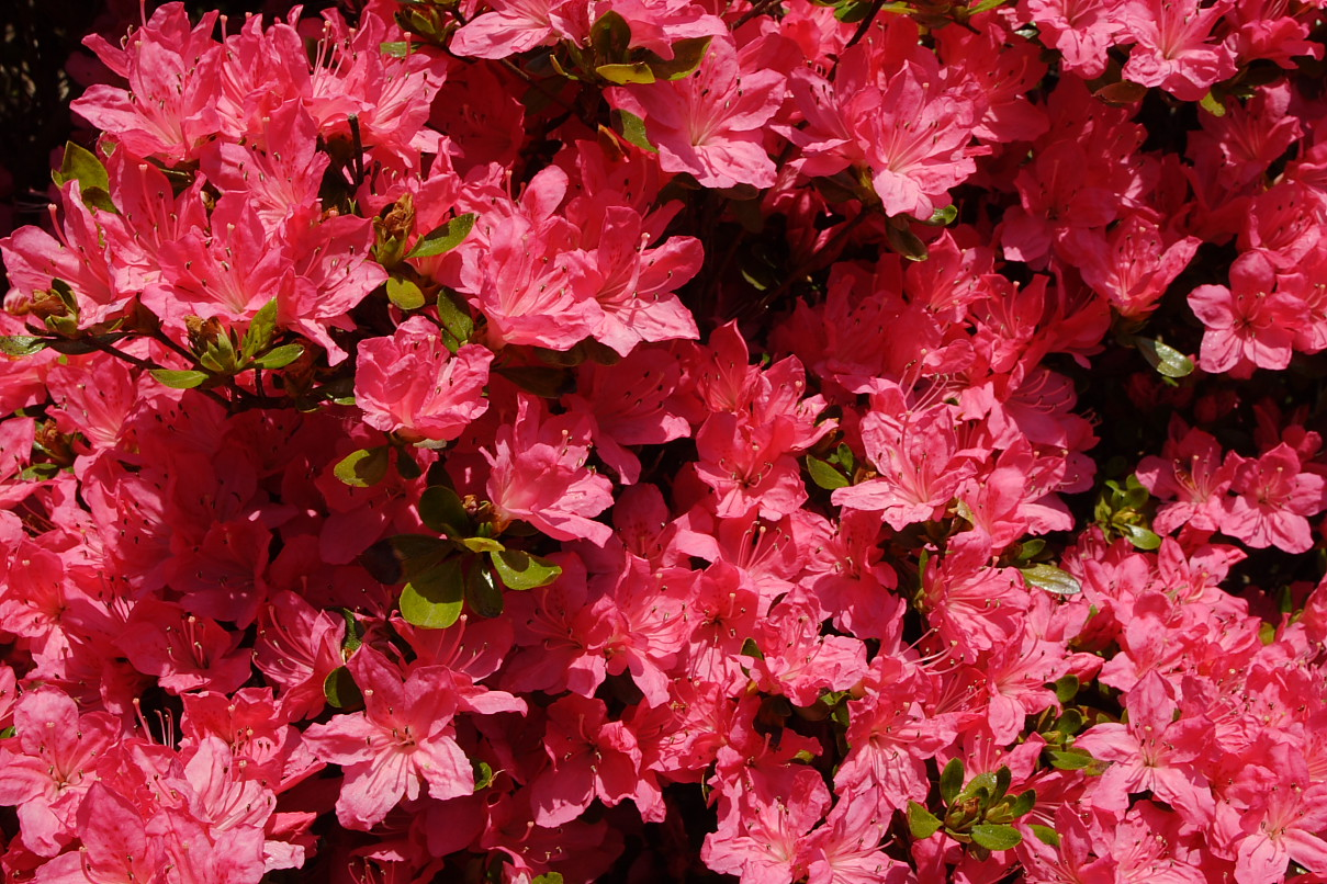 red azalea Red azalea is anchee min's celebrated memoir of growing up in the last years of mao's china as a child, she was asked to publicly humiliate a teacher at seventeen, she was sent to work at a labor collective forbidden to speak, dress, read, write, or love as she pleased, she found a lifeline in a secret love affair with another woman.
