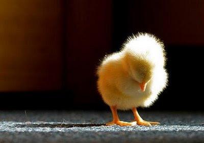 http://3.bp.blogspot.com/-AIkMK50B7Us/TVlpRzkWQWI/AAAAAAAAEDI/p_LlBkbeZj0/s400/Baby+Chick.jpg