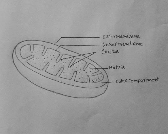 Draw It Neat How To Draw Mitochondria