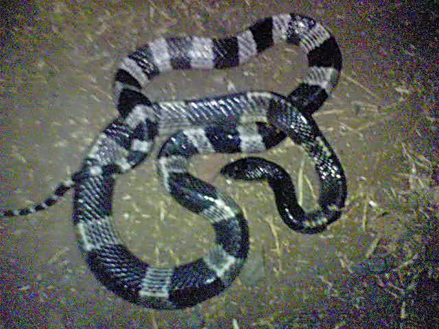 gambar ular berbisa - gambar ular - gambar ular berbisa