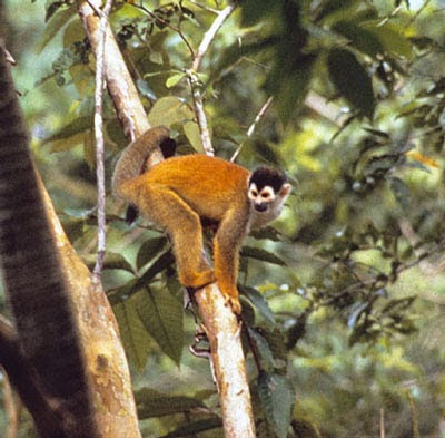 Red backed squirrel Monkey