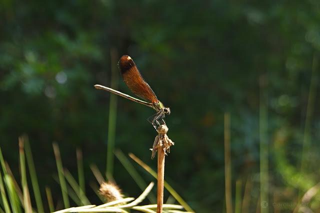 libelula-dorada-tres-macro-fotografia-carolum-art
