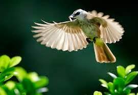 burung trucuk