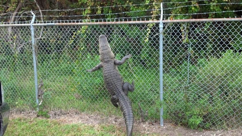 Funny animals of the week - 28 February 2014 (40 pics), crocodile climbs fence