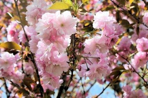 A guide to northeastern gardening spring flowering trees pretty in prunus serrulata kwanzan kwanzan cherry height 20 30 cold hardy to zone 5 full sun mightylinksfo